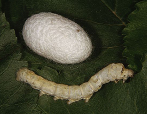 Silkworm-and-cocoon-on-mulberry-leaf